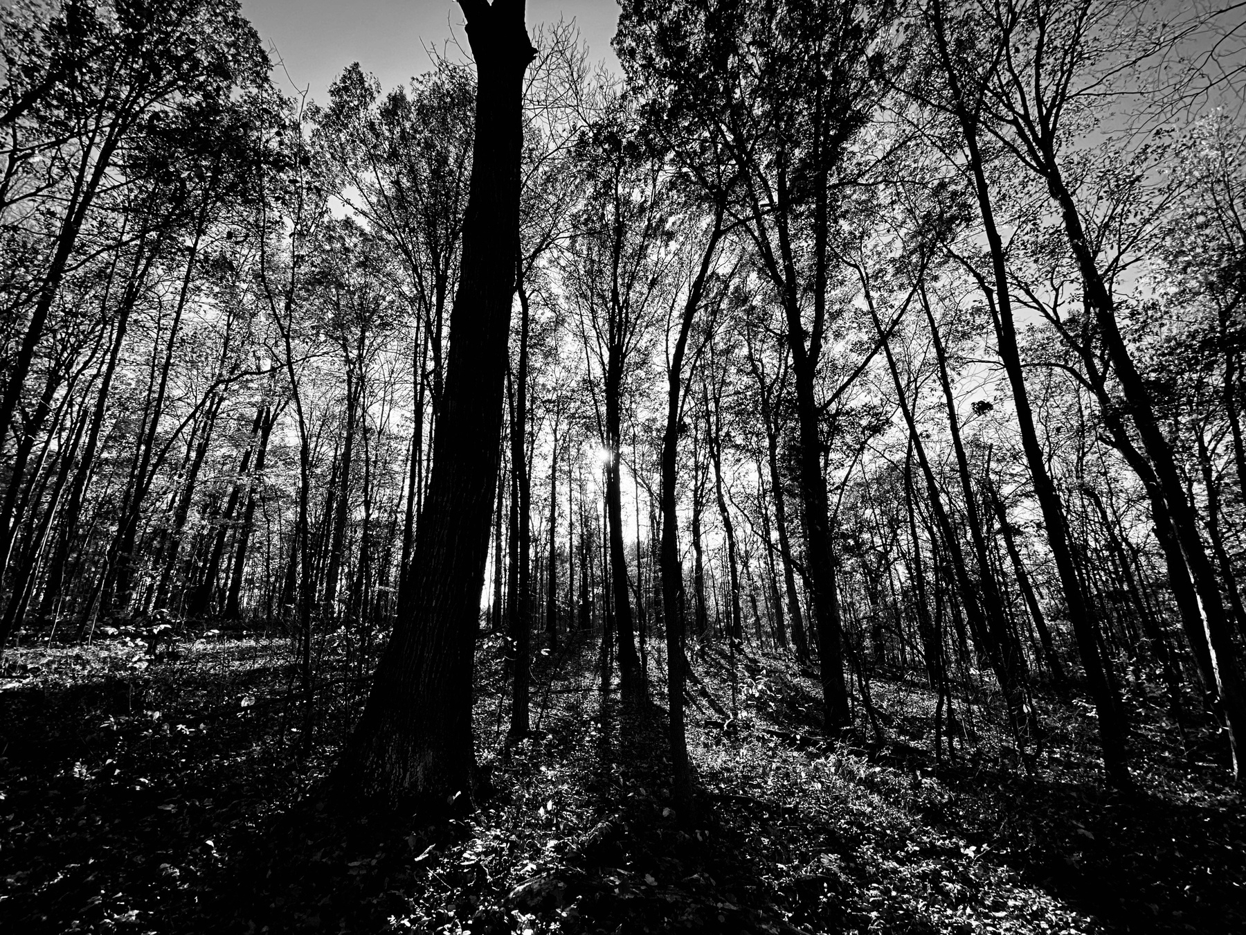 Forrest of trees in Fall in black and white