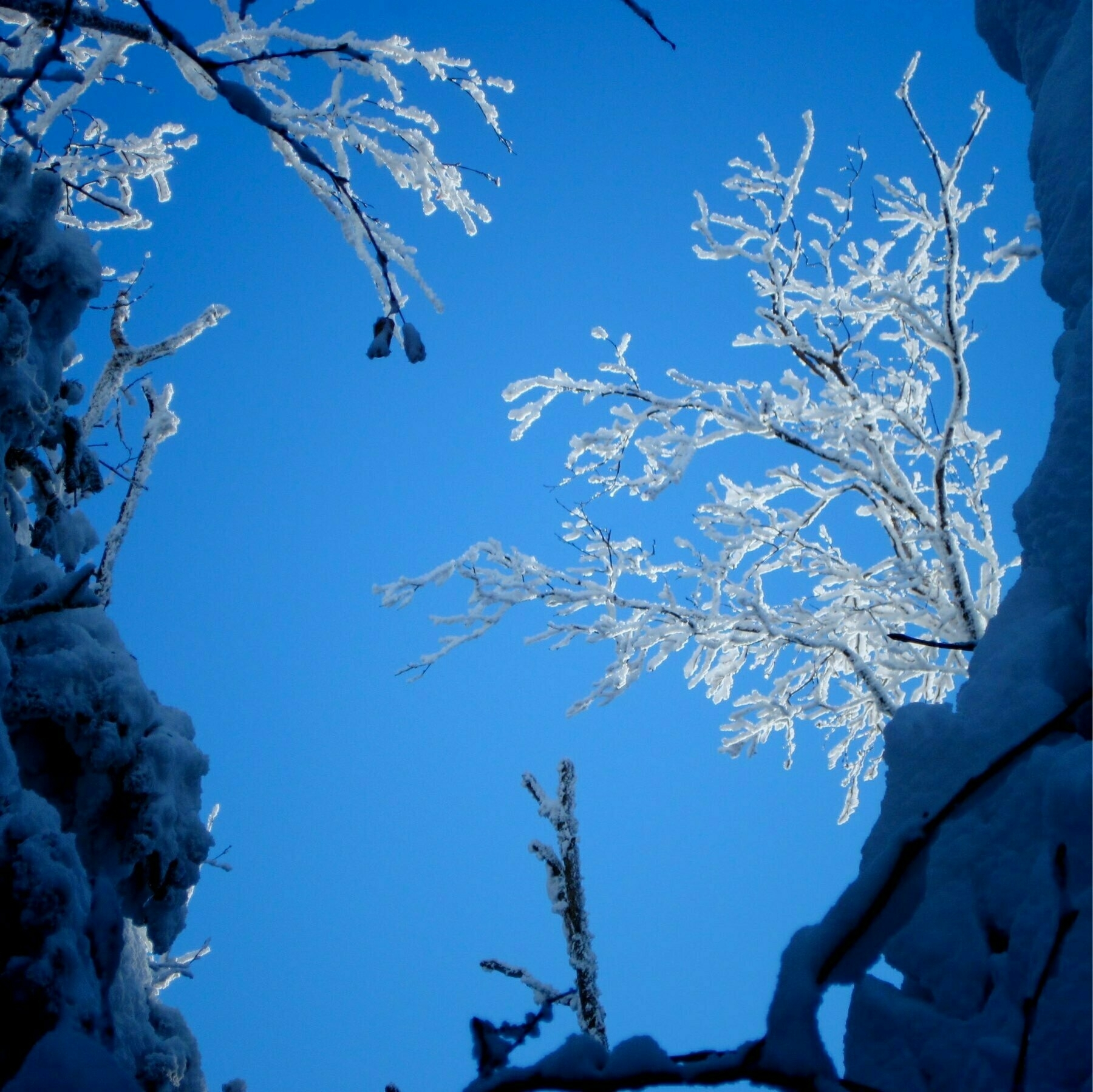 upward view of snow covered branches
